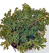 MARTENS CSIPKEHARASZT (Selaginella martensii)