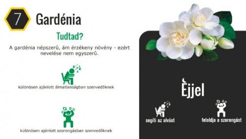 haloszobaba_gardenia