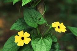 Védett balkonok liánnövénye a feketeszem