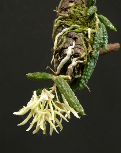 dendr.cucumerinum