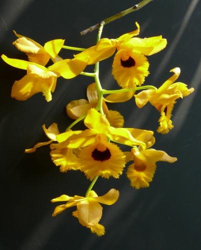 dendr.fimbriatum_v.oculatum