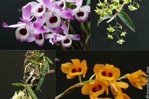 Dendrobiumok a középpontban a tavaszi orchidea kiállításon