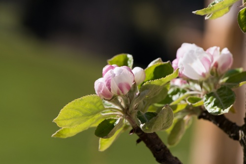 apple-tree-flowers-2317482_1280