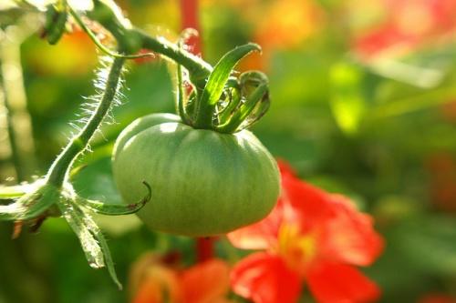 Paradicsom és sarkanytyúka jó növényszomszédok
