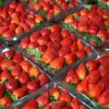 Így alakul a szamóca ára tavasszal a piacon