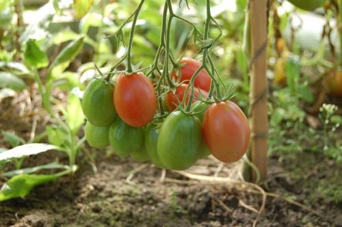 tomatoes-950723_1280