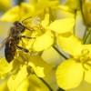 Kevés repcemézre számítanak idén a méhészek