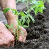 Még egy tipp a paradicsom palánta ültetéséhez