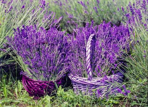 lavender-1478111_1280