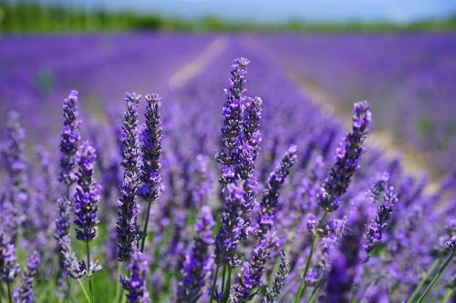 lavender-blossom-1595584_1280