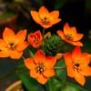 Kedvelt tavaszi szobadísszé vált a narancsszínű madártej