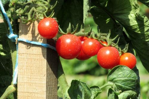 tomatoes-2533053_1920
