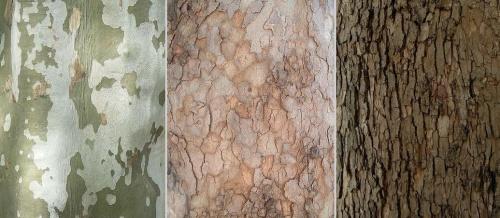 platanok