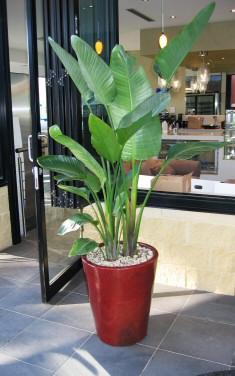 Leglátványosabb szobanövényünk: papagájvirág
