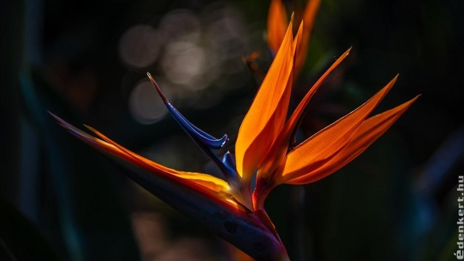 Papagájvirág, az egyik leglátványosabb szobanövény