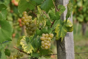 Az idén hetekkel korábban kezdődhet a szőlő szüret