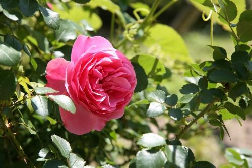 rose-1409931_1280