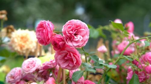 rose-3479507_1280