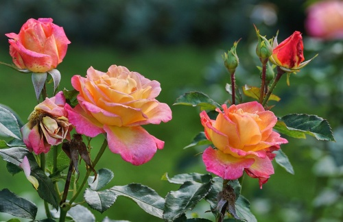 roses-2947934_1280