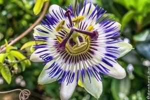 Golgotavirág: drámai szépség a virágoskertből