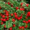 5 tipp a kúszóbokrok helyes ültetéséhez