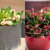 Pompás kutyatej (Euphorbia milii)