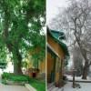 Frakk fája: az ostorfa meséje