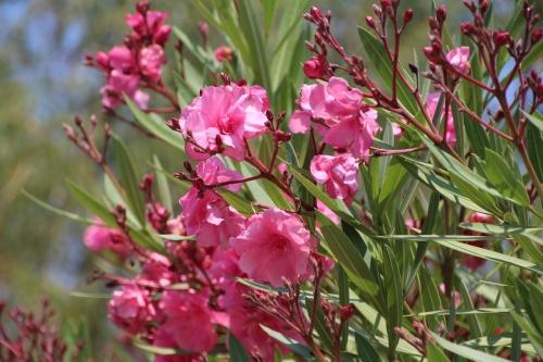 oleander-1348117_1280