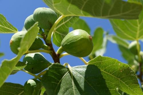 fig-tree-1658686_640