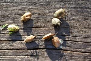 Jelentős kárt okoznak a poloskák világszerte