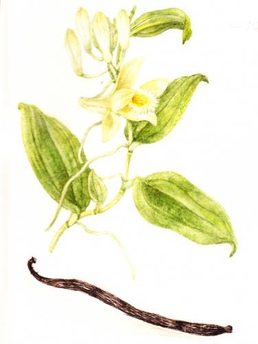 vanilia_orchidea_virag