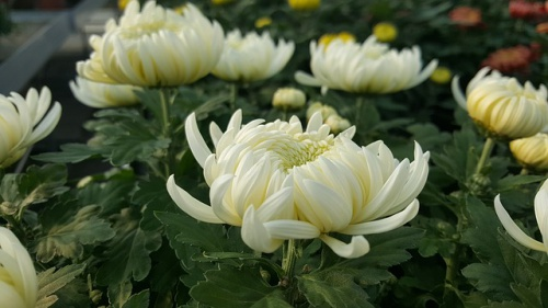 chrysanthemum-1022166_640