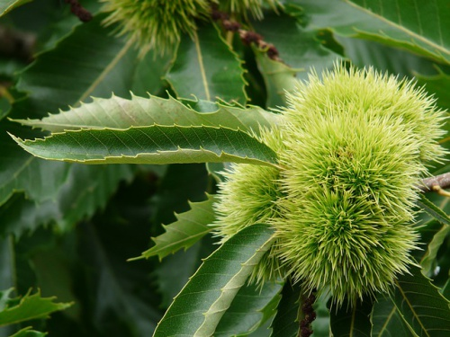 chestnut-8996_640