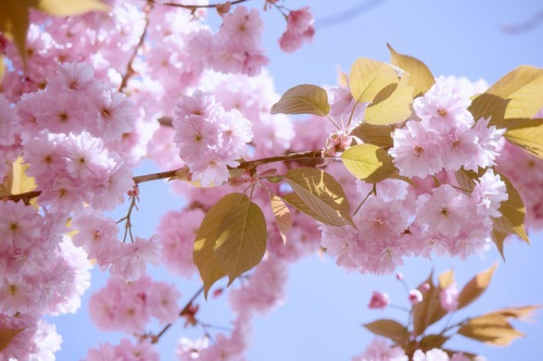 japanese-flowering-cherry-1350221_640