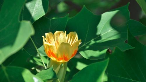 tulipanfa_liriodendron