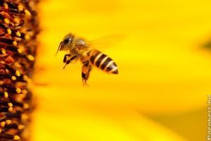 Decembertől csak üvegházban használhatók a méhekre veszélyes neonikotinoidok