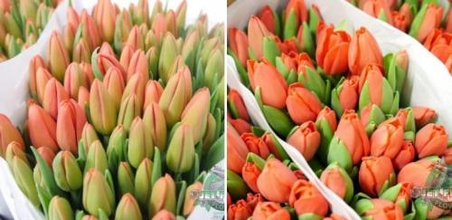 korall_tulipanok