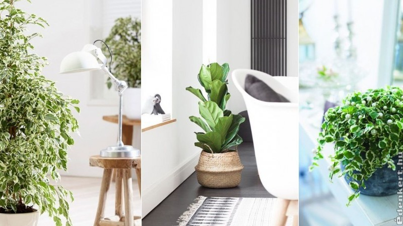 Kedvenc szobanövényeink: a fikuszok