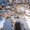 Szavazásban jók vagyunk: A pécsi havihegyi mandulafa lett az év európai fája