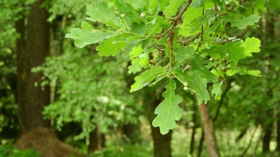 oak-1886183_1280