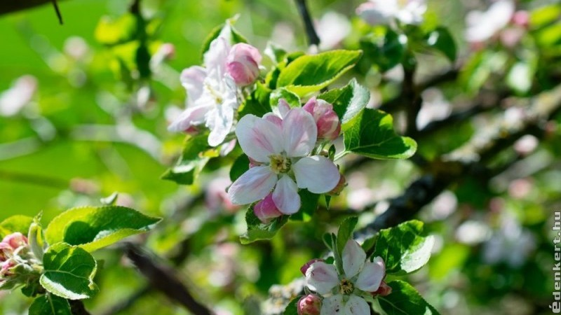 Az 5+1 legszebb kora tavasszal virágzó fa és cserje