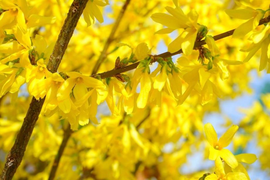 tavaszi_diszcserje_aranyfa