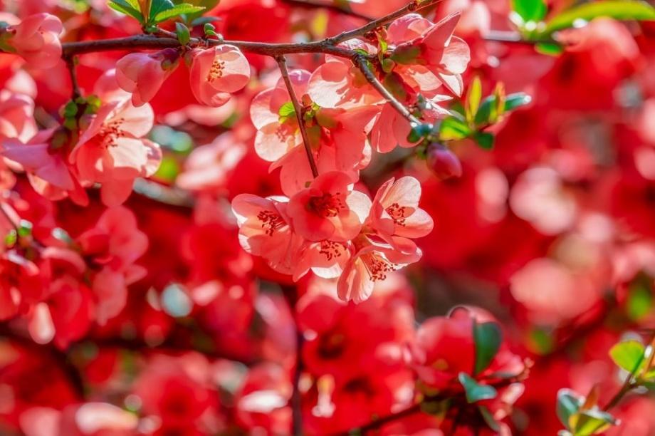 tavaszi_diszcserje_japanbirs