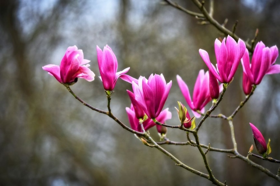 tavaszi_diszfa_magnolia_liliomfa