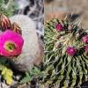 Mexikó szúrós csodái - kaktuszkiállítás a Füvészkertben