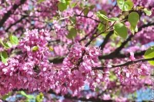 Májusi díszfák pinkben: júdásfa, galagonya és vadgesztenye