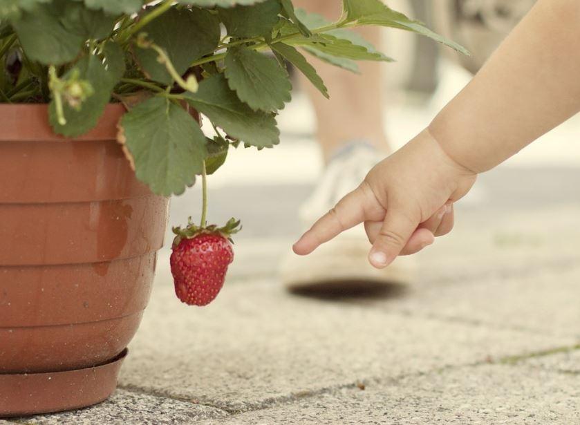 szamoca_fragaria_strawberry