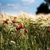 Bemutatkoznak az ősi gabonák: alakor, kamut és tönkölybúza