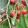 Kevesebb cseresznye terem idén, így drágább is lesz, mint tavaly