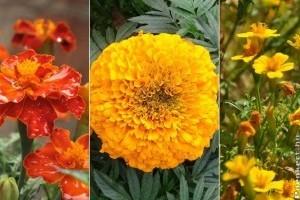 A virág, ami a nyári hőséget is túléli